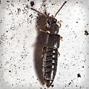 Rove Beetle - Carpelimus