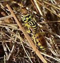 Wasp species? - Philanthus multimaculatus