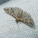 Montana six-plume moth - Alucita montana