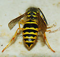 Common Yellow Jacket - Vespula maculifrons - female