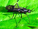 black wasp? - Xylophagus
