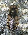Fly - Odontomyia pubescens