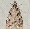 Many-spotted Scoparia Moth  - Scoparia