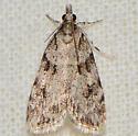 Many-spotted Scoparia Moth  - Scoparia basalis