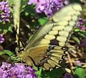 Western Giant Swallowtail - Papilio rumiko