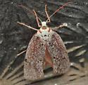 farinose moth - Lactura subfervens