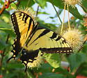 Butterfly - Papilio glaucus