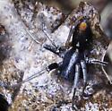 Fast Red-marked Ground Spider - Castianeira descripta