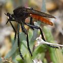 Asilidae: Archilestris magnificus (Walker) - Archilestris magnificus