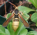 Yellow hornet (mimic) with furry/rusty wings - Paranthrene robiniae - female
