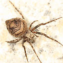 Orb Weaver - Eustala anastera