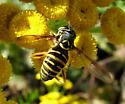 Flower Fly - Spilomyia citima
