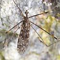 Flies at Saltwater Beach - Limonia simulans