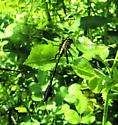 Cobra Clubtail? - Gomphurus vastus - male