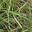 Stick Mantis Possible Brunner's? - Brunneria borealis