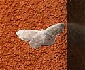 Tan Moth