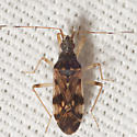 Dirt-colored Seed Bug - Ozophora picturata