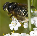 Syrphid fly2 (black and yellow with hairs) - Sericomyia militaris