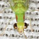 Green Lacewing - Ceraeochrysa