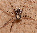 Flat crab spider? - Philodromus