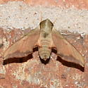 Sphinx Moth - Darapsa myron