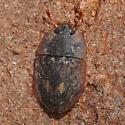 Sap-feeding beetle - Lobiopa undulata