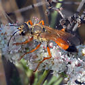 Great Golden Digger Wasp? - Sphex ichneumoneus