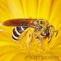 Sweat Bee - Halictus farinosus - female