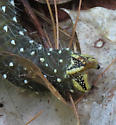 Pine Imperial Caterpillar - Eacles imperialis