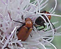 Brown insect on Thistle - Nemognatha