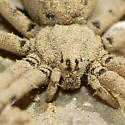 Spider found under rock - Homalonychus theologus - female