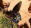 Moab Butterfly - Papilio indra - female