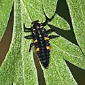 Unknown bug - Coccinella septempunctata