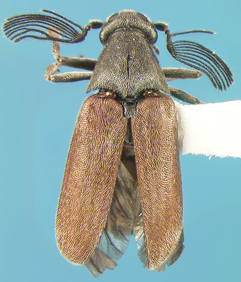 Ripiphorid - Ptilophorus wrightii