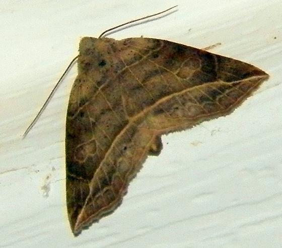 Moth 053015i - Isogona tenuis