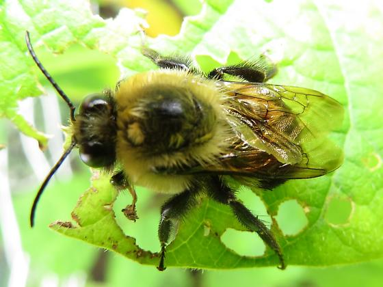 Bumble Bee - Bombus