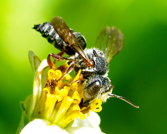 Hairy eyed bee - Coelioxys