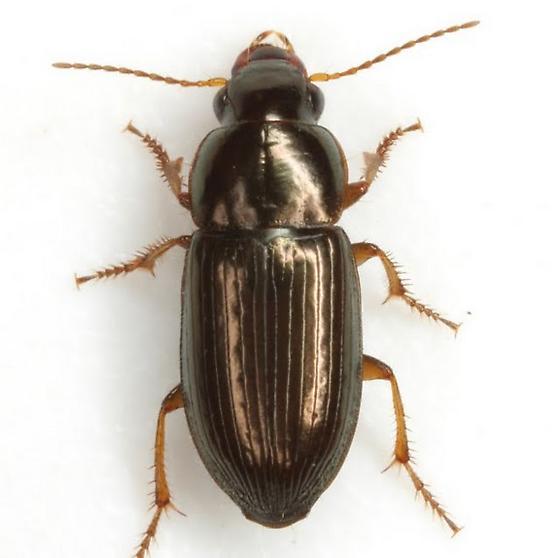 Selenophorus palliatus (Fabricius) - Selenophorus palliatus