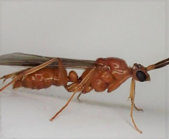 wasp - Leptogenys elongata - male