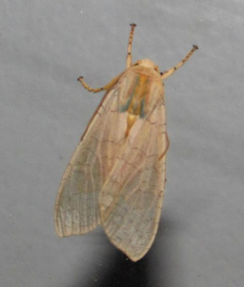 Moth 051517ccokb - Halysidota