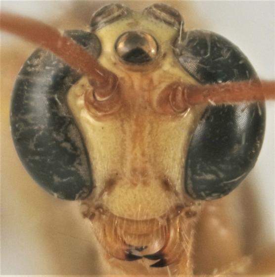 Enicospilus peigleri - female