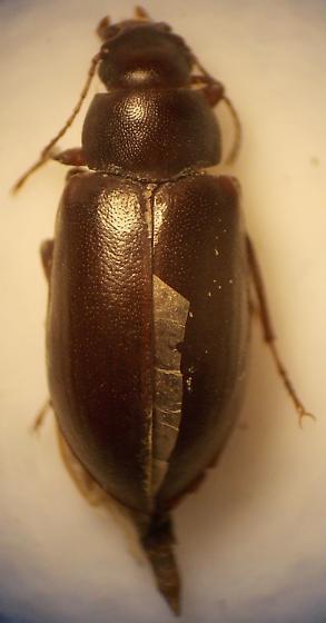 beetle - Chilometopon