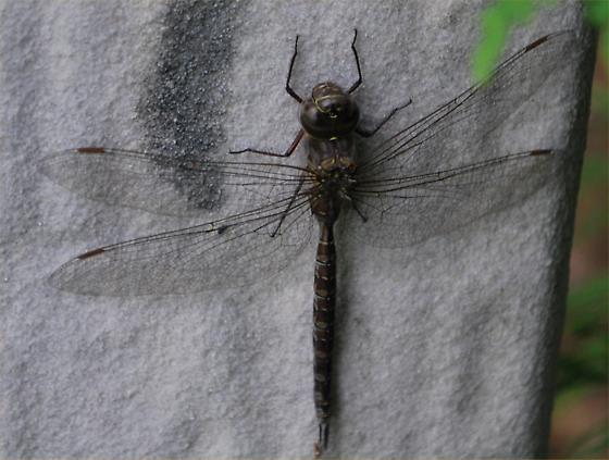 dragonfly - Aeshna
