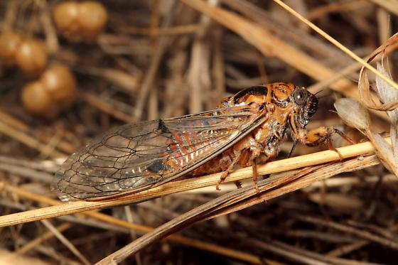 Unknown Cicada - Clidophleps distanti