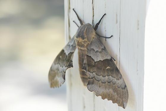 Pachysphinx occidentalis? - Pachysphinx occidentalis