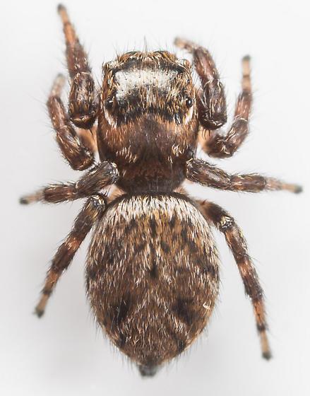 Evarcha hoyi - female