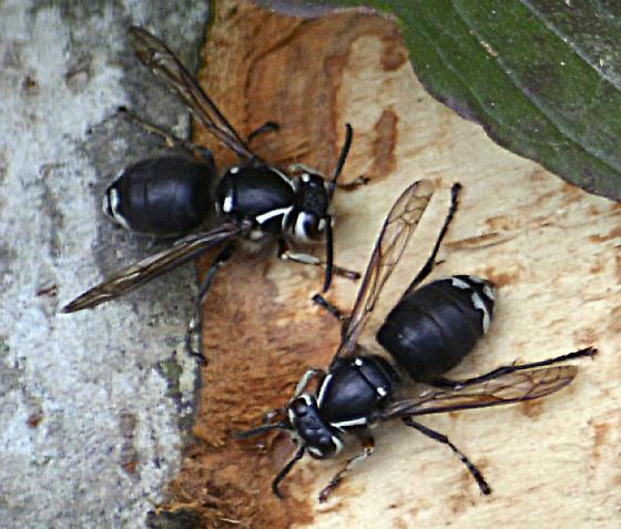 wasp species? - Dolichovespula maculata