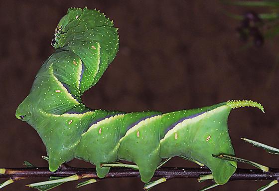 Rustic Sphinx - larva - Manduca rustica