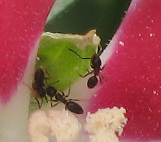 Ants on hibiscus in garden  - Tapinoma sessile