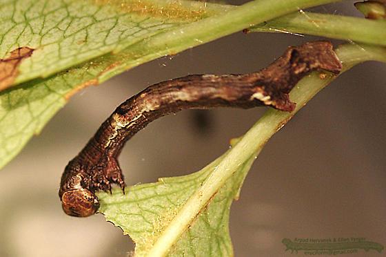 Saddleback Looper - Ectropis crepuscularia